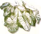 7 tips to store Caladium bulbs in the Fall