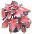 How to choose White Caladiums for your growing zone
