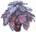 Category: Storing Caladium Bulbs